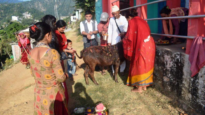 गाई डुलाएर पुजा गराउँदै रामबहादुर